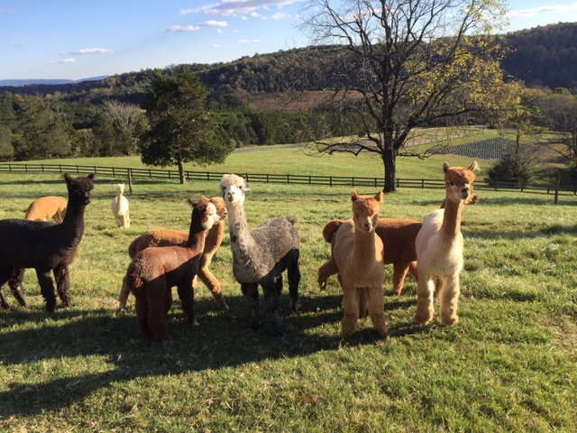 Herd of Alpaca Candid picture in farm.